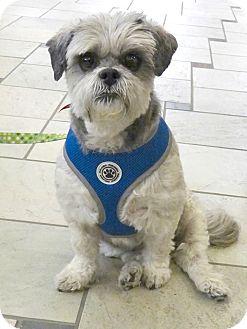 Shih Tzu Mix Dog for adoption in Libertyville, Illinois - Baby