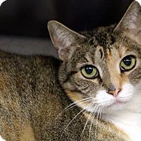 Adopt A Pet :: Pumpkin - Sarasota, FL