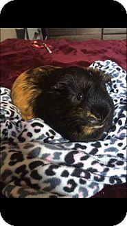 Guinea Pig for adoption in Winnipeg, Manitoba - Charlie
