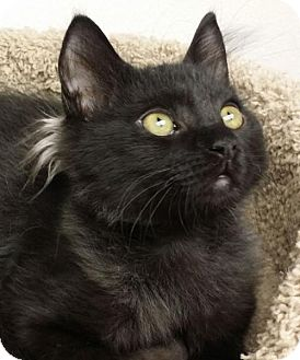 Domestic Mediumhair Cat for adoption in Woodland Hills, California - Fritz