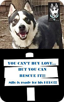 Akita/Siberian Husky Mix Dog for adoption in Memphis, Tennessee - Milo~UPDATE!
