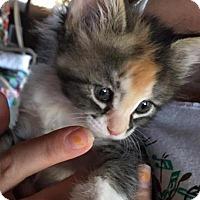 Adopt A Pet :: Coco - Tehachapi, CA