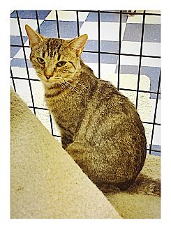Domestic Shorthair Cat for adoption in Redding, California - Penny