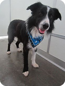 Border Collie Dog for adoption in Holton, Kansas - Priest