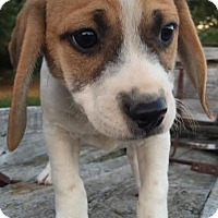 Coonhound (Unknown Type)/Pug Mix Puppy for adoption in PLAINFIELD, Indiana - Dazie