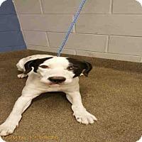 Adopt A Pet :: BUDDAH - Jacksonville, FL
