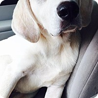 Great Pyrenees/Hound (Unknown Type) Mix Puppy for adoption in Christiana, Tennessee - Vail