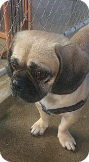 Pug/Beagle Mix Dog for adoption in Gardena, California - Chelsea