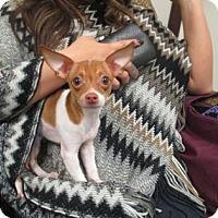Adopt A Pet :: Cappi - Irving, TX