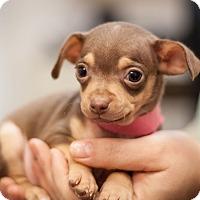 Miniature Pinscher Mix Puppy for adoption in Dallas, Texas - Daisy