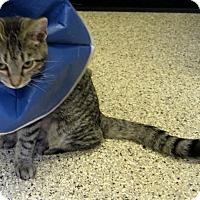 Adopt A Pet :: Dime - Georgetown, TX