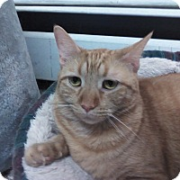 Domestic Shorthair Cat for adoption in wyoming valley, Pennsylvania - Olivia