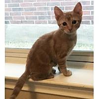 Adopt A Pet :: Chickpea 1 - Austin, TX