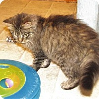 Adopt A Pet :: Miki (DLH male kitten) - Spring Grove, PA