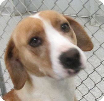 Beagle Foxhound Mix Puppies