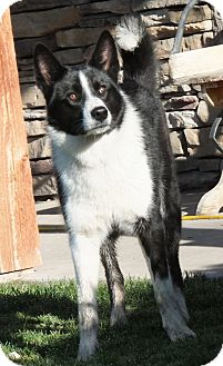 Karelian bear dog border collie mix - photo#8