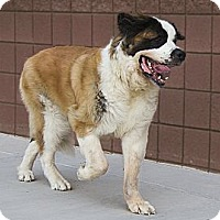 Adopt A Pet :: DASHA - Glendale, AZ