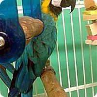 Adopt A Pet :: Hadji - Lexington, GA
