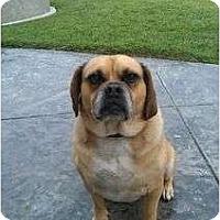 Adopt A Pet :: Boston - Los Alamitos, CA