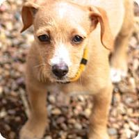 Adopt A Pet :: Pumpkin-sibling of Chip&Oreo - Norwalk, CT