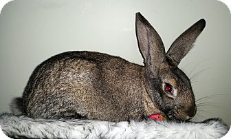 Flemish Giant Mix for adoption in North Gower, Ontario - Fox