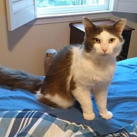 Domestic Mediumhair Cat for adoption in Atlanta, Georgia - Tommy
