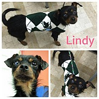 Adopt A Pet :: Lindy - Garden City, MI