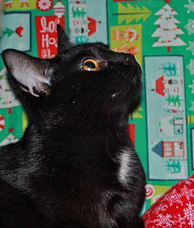 Domestic Shorthair Cat for adoption in Laingsburg, Michigan - Kelly