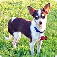 Chihuahua Dog for adoption in San Diego, California - Zinfandel