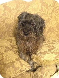 Standard Schnauzer Mix Dog for adoption in Columbia, Tennessee - Spodie/TX