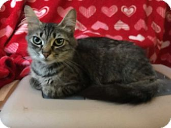 Domestic Shorthair Cat for adoption in South Bend, Indiana - Tangie