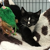 Domestic Shorthair Kitten for adoption in Wayne, New Jersey - Daughtry
