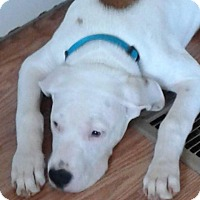 Pit Bull Terrier Mix Puppy for adoption in Springtown, Texas - Zeus