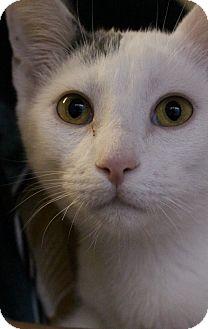 Domestic Shorthair Kitten for adoption in Colorado Springs, Colorado - Alton
