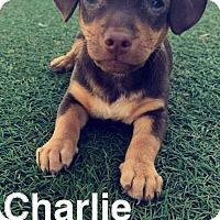 Adopt A Pet :: Charlie Brown - Phoenix, AZ