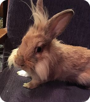 Lionhead for adoption in Miami, Florida - Nemo