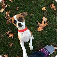 Chihuahua Mix Puppy for adoption in Pleasanton, California - Kelsie - adoption pending