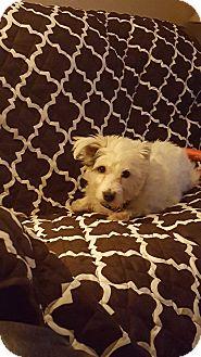 Glen of Imaal Terrier Dog for adoption in Dartmouth, Massachusetts - Harley