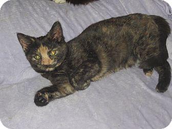 Domestic Mediumhair Kitten for adoption in Newtown, Connecticut - Riley