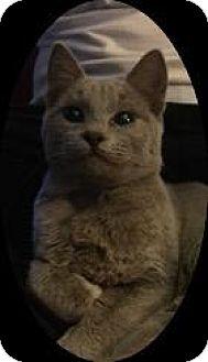 Domestic Shorthair Cat for adoption in Oxnard, California - Corduroy