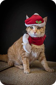 Domestic Shorthair Cat for adoption in Madionsville, Kentucky - Adidas