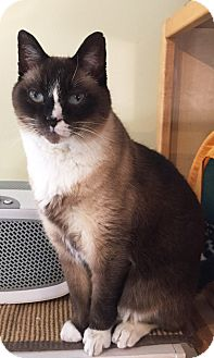 Snowshoe Cat for adoption in Colorado Springs, Colorado - Elgin