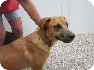 Black Mouth Cur/Shepherd (Unknown Type) Mix Puppy for adoption in Marion, Wisconsin - Jefferson