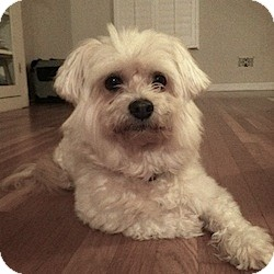 Maltese Mix Dog for adoption in San Diego, California - Glinda