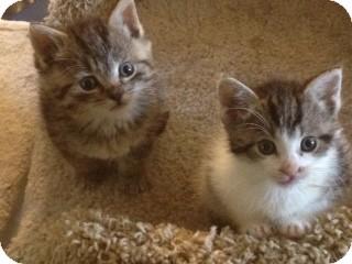 Domestic Shorthair Kitten for adoption in Island Park, New York - Jimmy