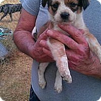Adopt A Pet :: Sugar - Conway, AR