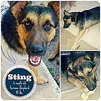 Adopt A Pet :: Sting - San Antonio, TX