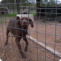 Adopt A Pet :: Charlie Brown - Buchanan Dam, TX