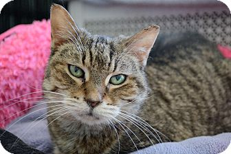 Domestic Shorthair Cat for adoption in Chicago, Illinois - Abigail