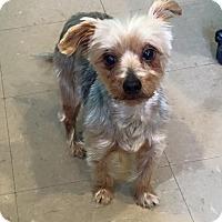 Adopt A Pet :: Samson - Russellville, KY